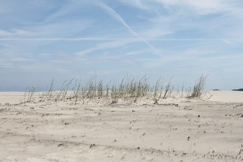 Borkum Strandhafer